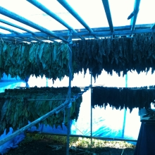 Hanging tobacco leaves for drying