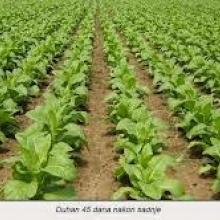 Growing Tobacco Plants